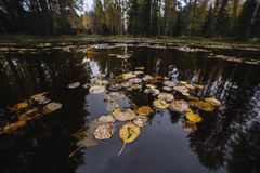 Gula höstsidor på vattnet av skogsjön Fotografering för Bildbyråer