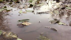 Gula höstsidor som svävar i en pöl av vatten, är regnnaturen arkivfilmer