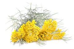 Gula helichrysumblommor arkivbild