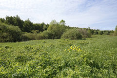 Gula jordklot-blommor på en grön äng på kanten av en solig morgon för skogfrikänd Arkivbilder