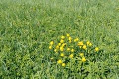 Gula jordklot-blommor på en grön ljus solig morgon för äng Fotografering för Bildbyråer