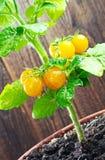 Gula körsbärsröda tomater royaltyfri bild