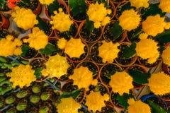 Gula kaktusblommor i krukor på kaktuns shoppar i blommamarknad Arkivbilder
