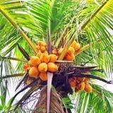 Gula kokosnötter Royaltyfri Fotografi