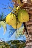 Gula kokosnötter gömma i handflatan på Royaltyfri Foto