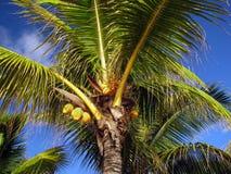 Gula kokosnötter på gömma i handflatan under den blåa himlen i Mauritius Arkivbild