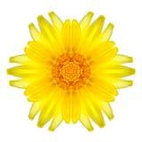 Gula koncentriska Daisy Mandala Flower Isolated på vit Arkivbild