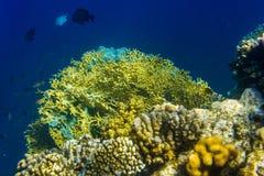Gula koraller och fisk Arkivbilder