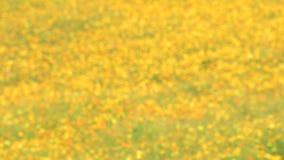 Gula kosmos blommar att blomma i trädgård stock video