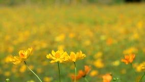 Gula kosmos blommar att blomma i trädgård arkivfilmer