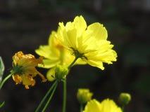 Gula kosmos blommar att blomma i trädgården Royaltyfri Foto