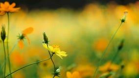 Gula kosmos blommar i trädgården, Thailand arkivfilmer