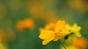 Gula kosmos blommar i trädgården, Thailand lager videofilmer