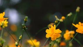 Gula kosmos blommar i trädgården, Thailand stock video