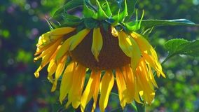 Gula kronblad för nära solros för siktsvindvågor stor lager videofilmer