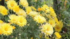 Gula krysantemum i trädgården stock video