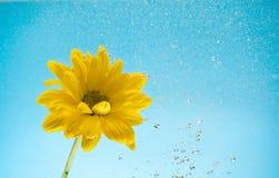 gula krysantemum på blå bakgrund Fotografering för Bildbyråer