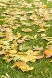 Gula lönnlöv för höst på gräs Arkivbilder
