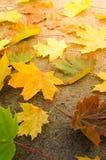 Gula lönnlöv i solen Royaltyfria Bilder