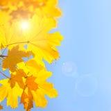 Gula lönnlöv mot bakgrund för blå himmel med solen - Autum Arkivfoto
