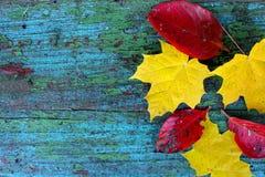 Gula lönnlöv och röda sidor på en gammal träblått fotografering för bildbyråer