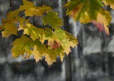 Gula lönnlöv på grå färgväggbakgrund Royaltyfri Bild
