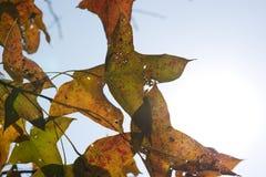 Gula lönnlöv på trädet Arkivfoto