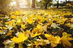 Gula lönnlöv täcker jordningen på en solig höstdag Wide Angle Photo royaltyfri foto