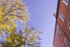 Gula lönnlöv under nedgångsäsong mot solig blå himmel royaltyfria foton