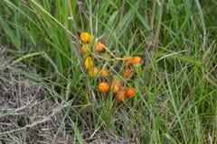 Gula lösa bär i gräs Arkivbilder