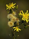 Gula lösa blommor och fluffigt frö Royaltyfria Bilder