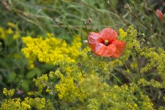 Gula lösa blommor och röd vallmoblomning i ett fält royaltyfri foto