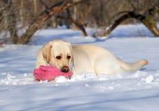 Gula labrador i vinter i snö med en rosa leksak Fotografering för Bildbyråer
