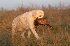 Gula labrador med fasanen Fotografering för Bildbyråer