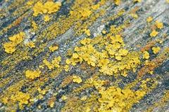 Gula lavar Makroskytte av laver Månar på träyttersidan royaltyfria bilder