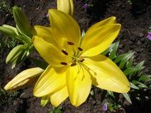 Gula liliumknoppar och blomma, gul daglilja Arkivbilder