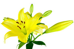 Gula liljor Arkivfoton