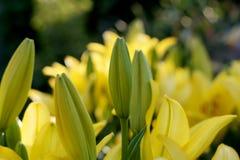 Gula liljor på sommarträdgården Arkivbild