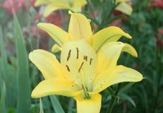 Gula Lily Flowers i trädgården Fotografering för Bildbyråer