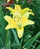 Gula Lily Flowers i trädgården Royaltyfria Bilder