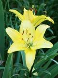 Gula Lily Flowers i trädgården Arkivfoton