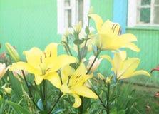 Gula Lily Flowers i trädgården Arkivbild
