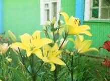 Gula Lily Flowers i trädgården Royaltyfri Bild