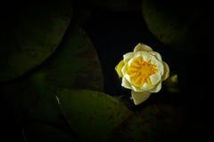 Gula Lotus fotografering för bildbyråer