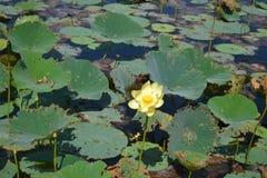 Gula Lotus Flower på vatten Arkivfoton