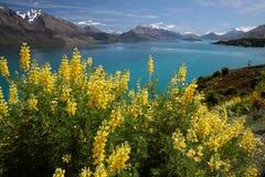 Gula lupines på sjön Wakatipu Fotografering för Bildbyråer