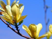 Gula magnolia'fjärils' blommor Arkivfoto