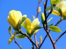 Gula magnolia'fjärils' blommor Royaltyfri Fotografi