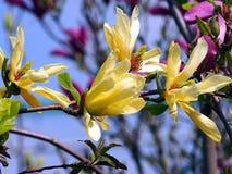 Gula magnolia'fjärils' blommor Arkivbilder