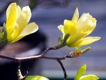Gula magnolia'fjärils' blommor Royaltyfria Bilder